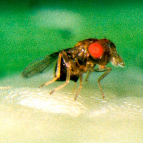 promip manejo integrado pragas controle biologico mip experience artigo lagarta diatraea saccharalis mip trichomip p final