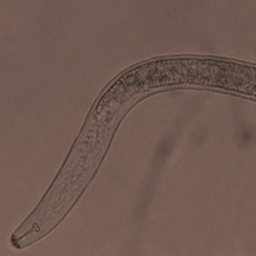 promip manejo integrado pragas controle biologico mip experience artigo nematoide adulto 01