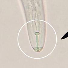 promip manejo integrado pragas controle biologico mip experience artigo nematoide adulto 02 mobile