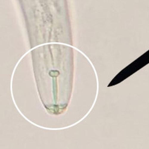 promip manejo integrado pragas controle biologico mip experience artigo nematoide adulto 02