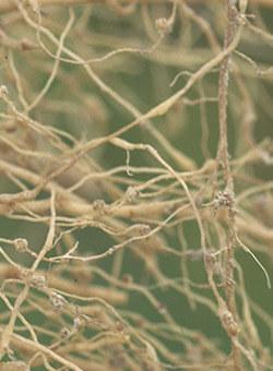 promip manejo integrado pragas controle biologico mip experience artigo nematoides capa