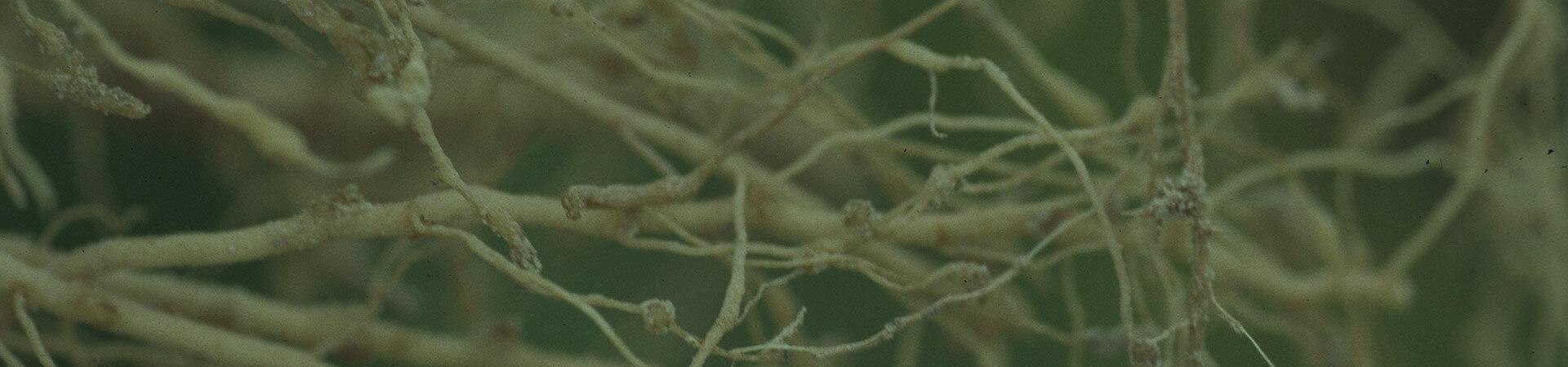 Nematoides na cultura do pimentão