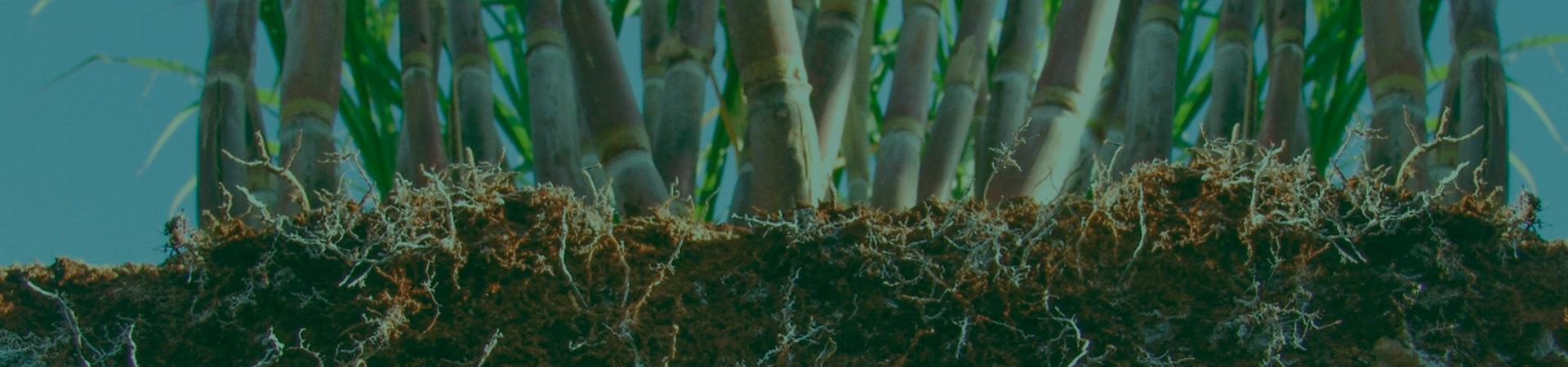 Nematoides na cultura da cana-de-açúcar