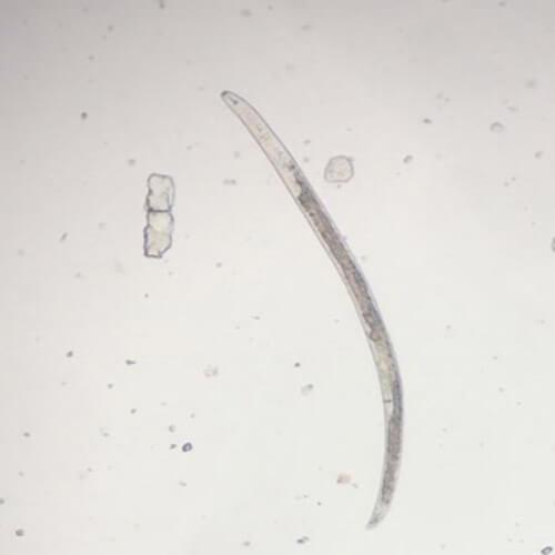 promip manejo integrado pragas controle biologico mip experience nematoides lesoes femea pratylenchus