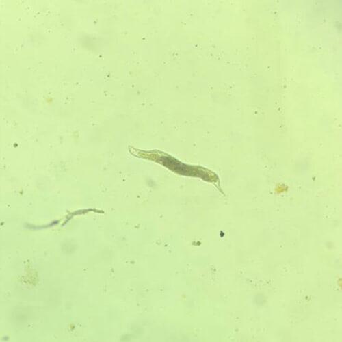 promip manejo integrado pragas controle biologico mip experience nematoides lesoes juvenil meloidogyne