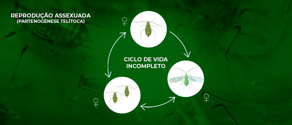 promip manejo integrado pragas controle biologico mip experience afídeos ciclo incompleto final