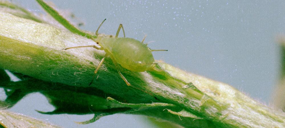 promip manejo integrado pragas controle biologico mip experience afídeos pulgao