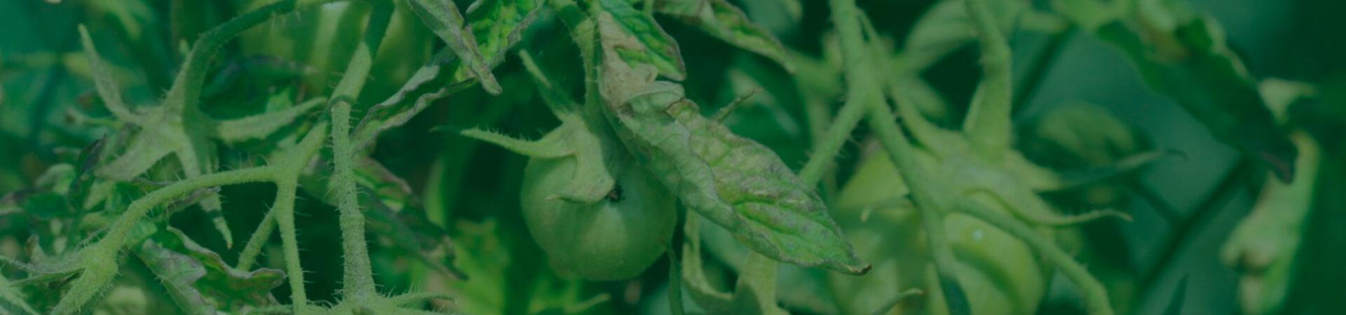 Vira-cabeça na cultura do tomateiro