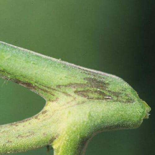 promip manejo integrado pragas controle biologico mip experience artigo vira cabeca sintoma caule
