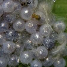 promip manejo integrado pragas controle biologico mip experience spodoptera frugiperda ciclo controle biologico mobile