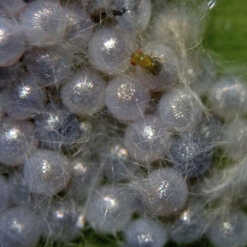 promip manejo integrado pragas controle biologico mip experience spodoptera frugiperda ciclo controle biologico