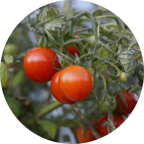 promip manejo integrado pragas controle biologico mip experience spodoptera frugiperda plantacao tomate