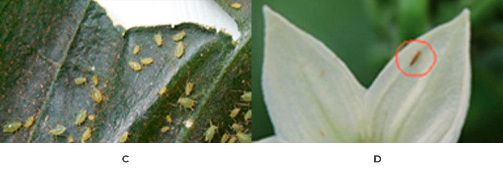 promip manejo integrado de pragas controle biologico acaro figura 5 parte 2