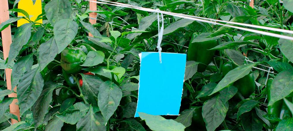 promip manejo integrado de pragas controle biologico acaro figura 6