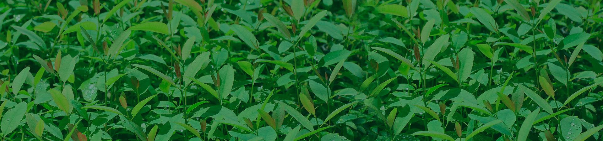 Manejo do ácaro rajado em viveiros clonais de eucalipto