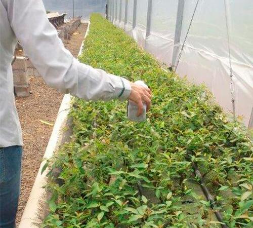 promip manejo integrado de pragas manejo acaro rajado viveiros eucalipto manejo biologico