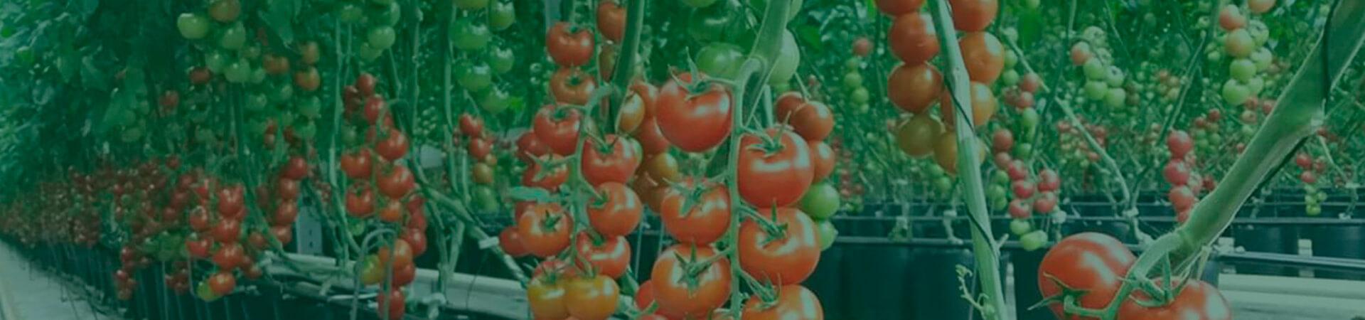 Contribuição para o MIP na cultura do tomate