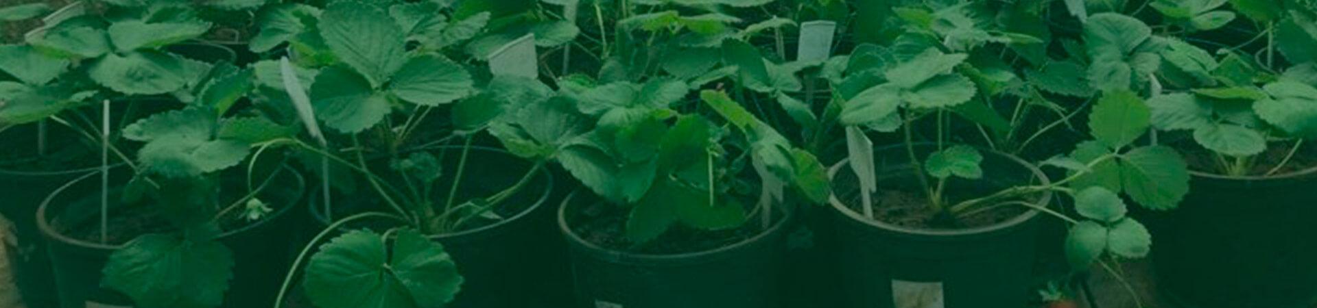 Efeitos da utilização de fungos entomopatogênicos como inoculantes no crescimento de plantas e controle de pragas