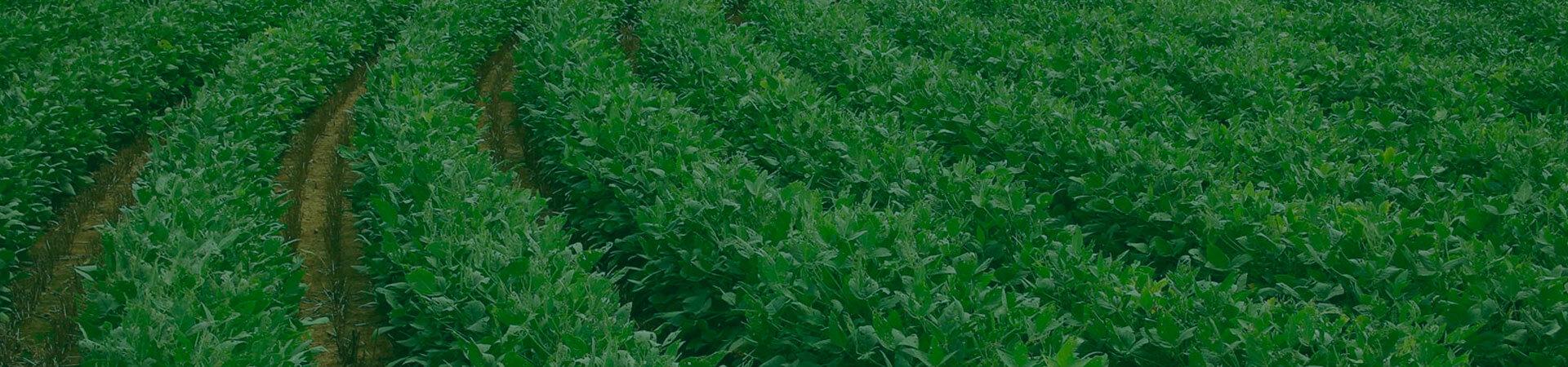 Nematoides de importância econômica na cultura da soja