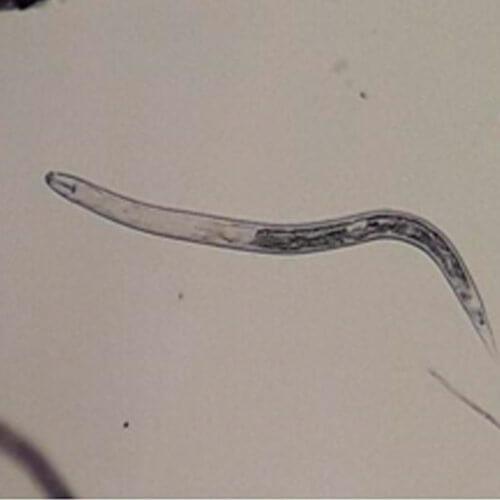promip manejo integrado pragas controle biologico mip experience nematoides soja heterodera glycines adultos