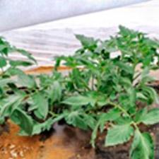 promip manejo integrado de pragas controle biologico em batata aplicacao agrotextil 02 mobile
