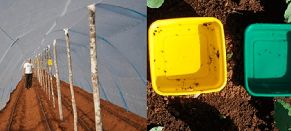 promip manejo integrado de pragas controle biologico em batata armadilhas amarelas