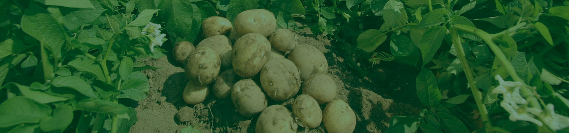 Manejo integrado de pragas em batata – quebrando paradigmas