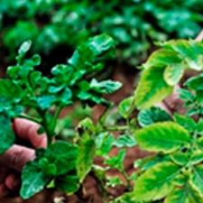 promip manejo integrado de pragas controle biologico em batata producao semente 01 mobile