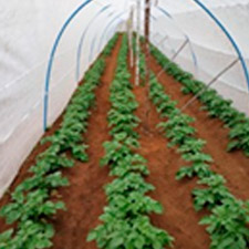 promip manejo integrado de pragas controle biologico em batata producao semente 02 mobile