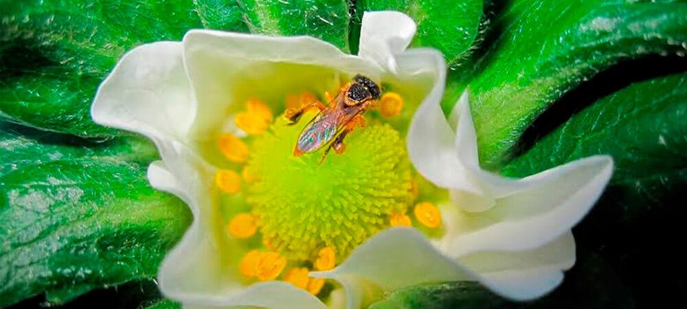promip manejo integrado de pragas controle biologico preservacao polinizadores cultura