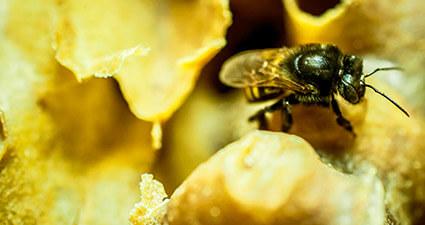 promip manejo integrado de pragas controle biologico preservacao polinizadores sumico abelhas mobile