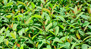 promip manejo integrado de pragas manejo acaro rajado viveiros eucalipto manejo biologico capa mobile