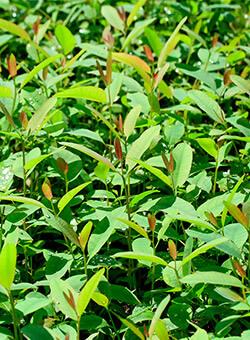 promip manejo integrado de pragas manejo acaro rajado viveiros eucalipto manejo biologico capa