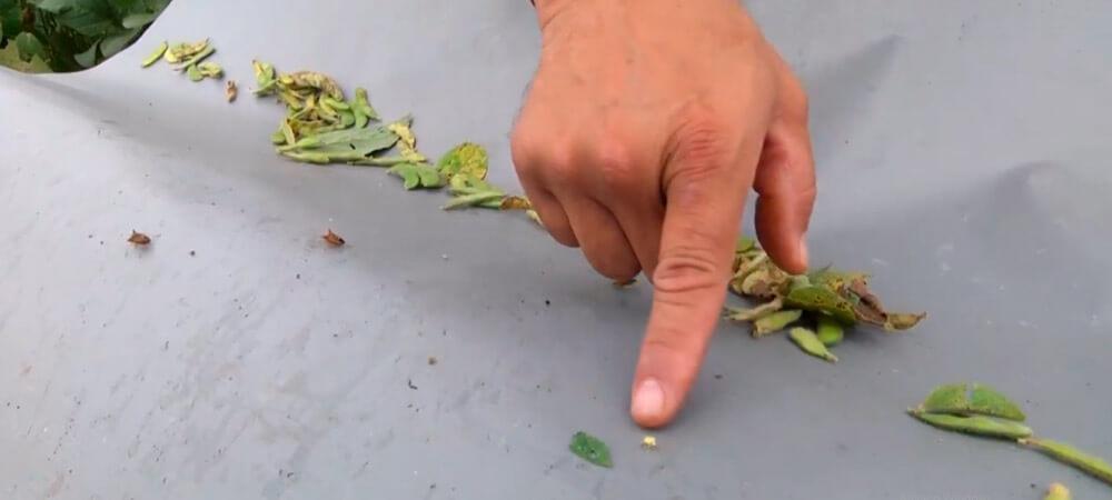 promip manejo integrado pragas controle biologico mip experience percevejo soja danos