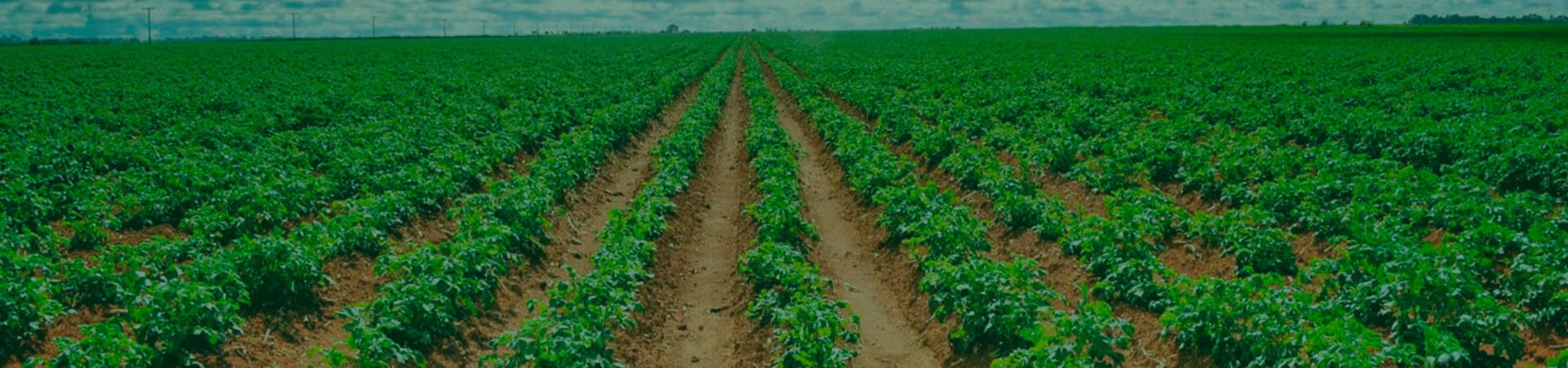 De olho nas pragas que atacam o cultivo de batatas