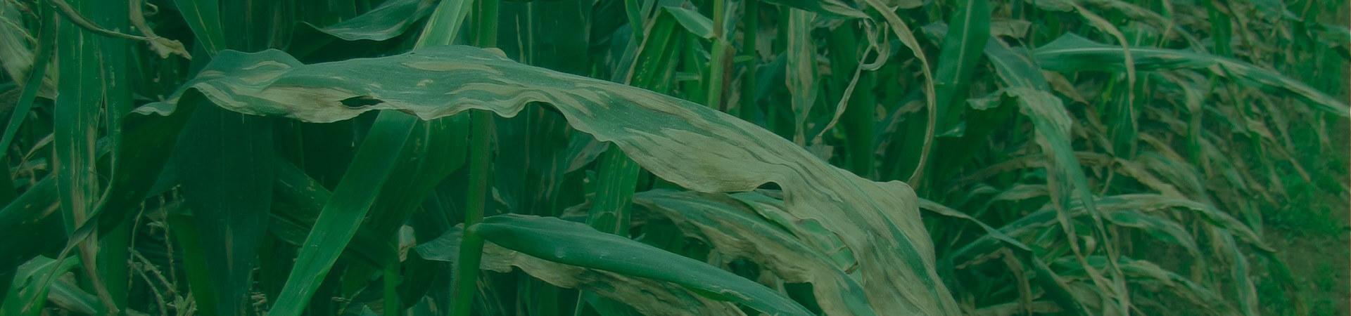 As ferrugens do milho