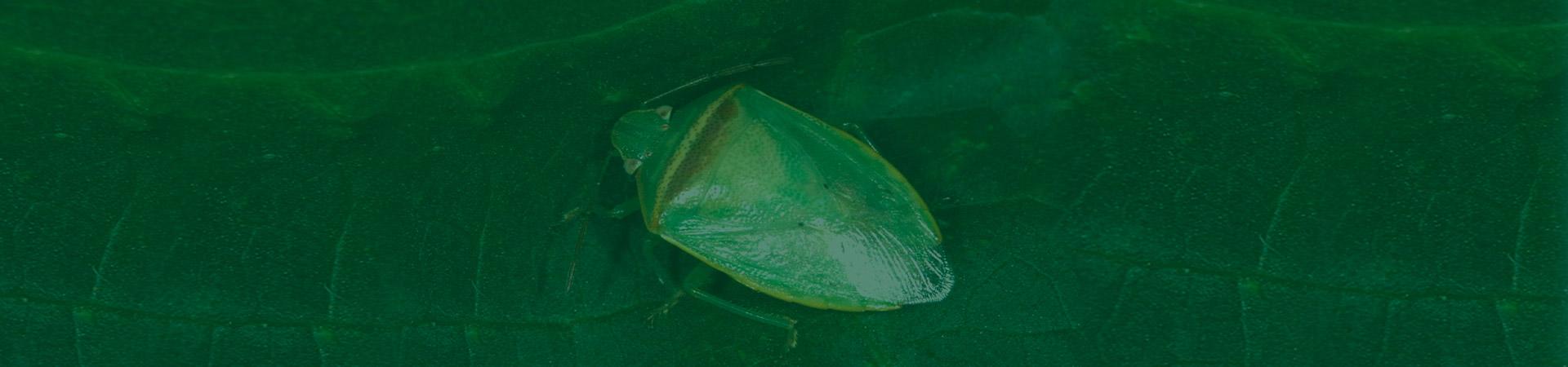 Percevejo verde pequeno da soja – ocorrência e danos