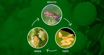 promip manejo integrado pragas controle biologico mip experience psilideo citros ciclo mobile