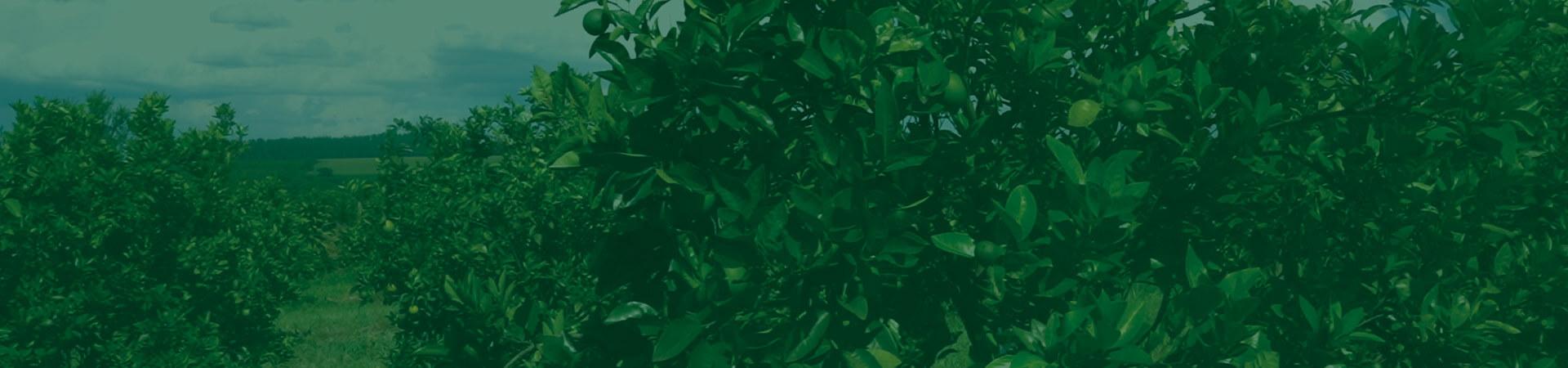 Psilídeo dos citros – O maior desafio da citricultura
