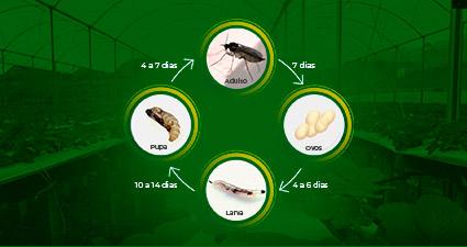 promip manejo integrado pragas controle biologico mip experience fungus gnats morango ciclo mobile final 2