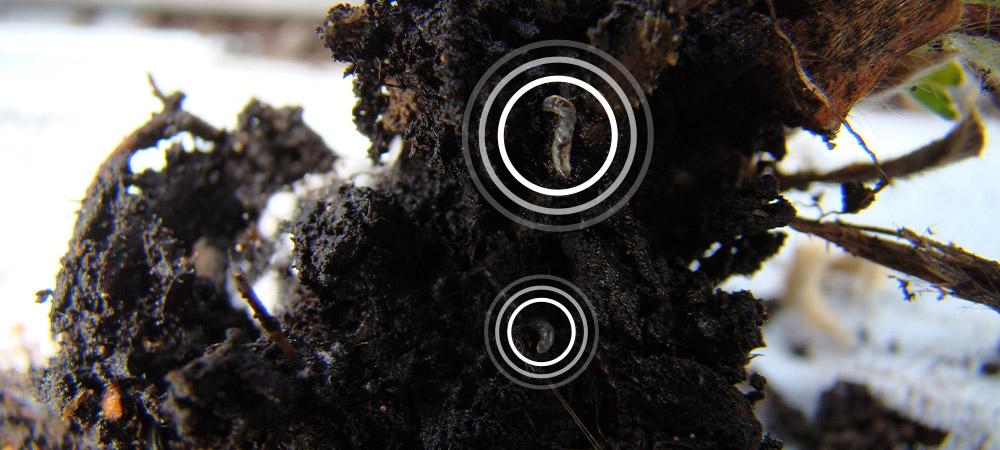 promip manejo integrado pragas controle biologico mip experience fungus gnats morango monitoramento 2