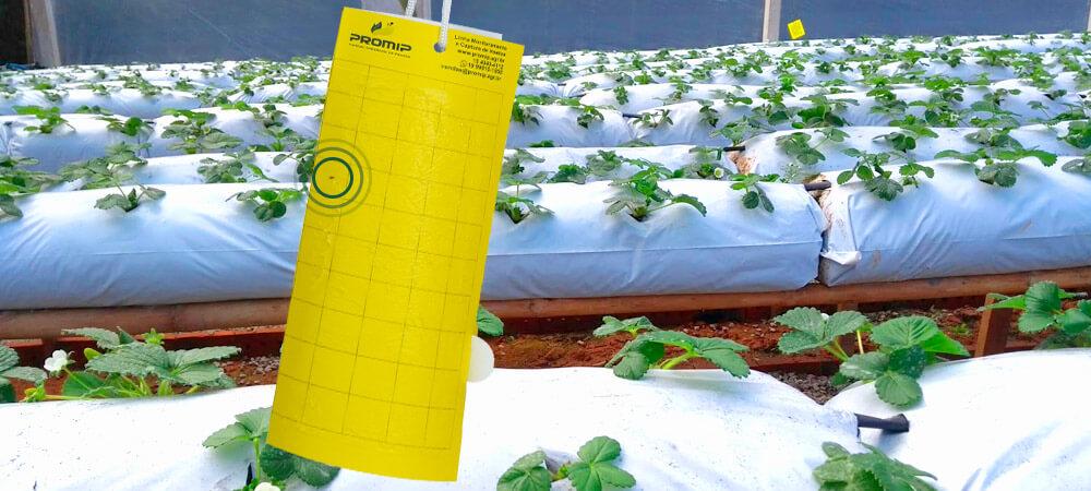 promip manejo integrado pragas controle biologico mip experience fungus gnats morango monitoramento