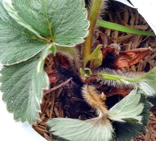 promip manejo integrado pragas controle biologico mip experience fungus gnats morango sintomas 022