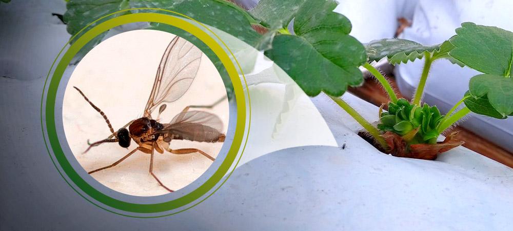 promip manejo integrado pragas controle biologico mip experience fungus gnats morango visualizacao2