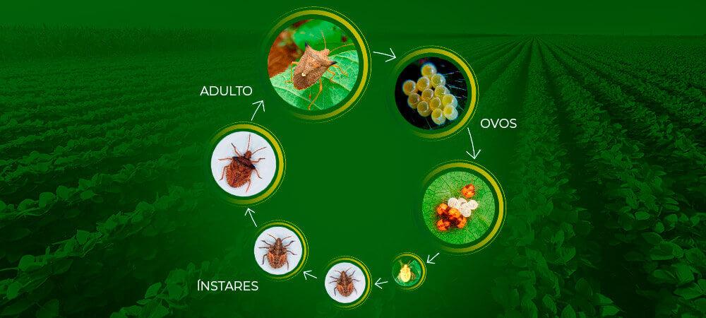 promip manejo integrado pragas controle biologico mip experience percevejo marrom ciclo