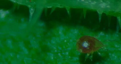 promip manejo integrado pragas controle biologico mip experience ácaro predador controle bemisia tabaci header mobile