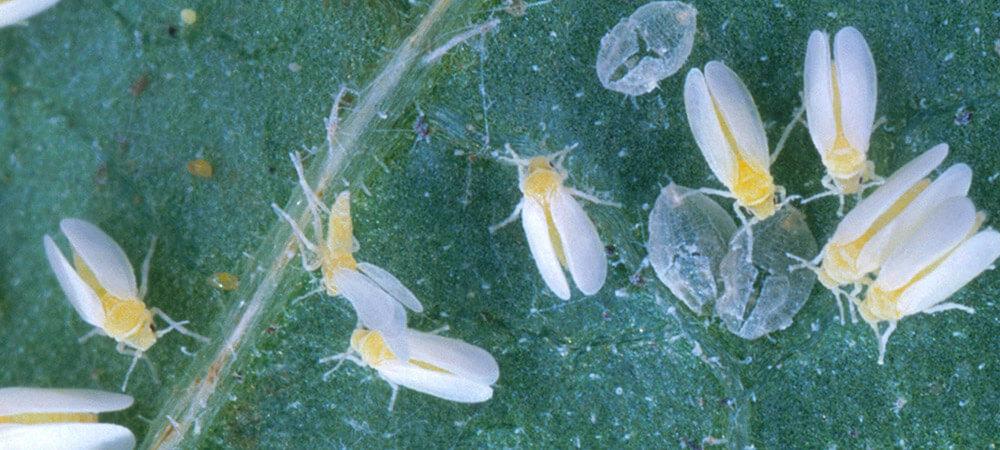 promip manejo integrado pragas controle biologico mip experience ácaro predador controle bemisia tabaci mosca branca