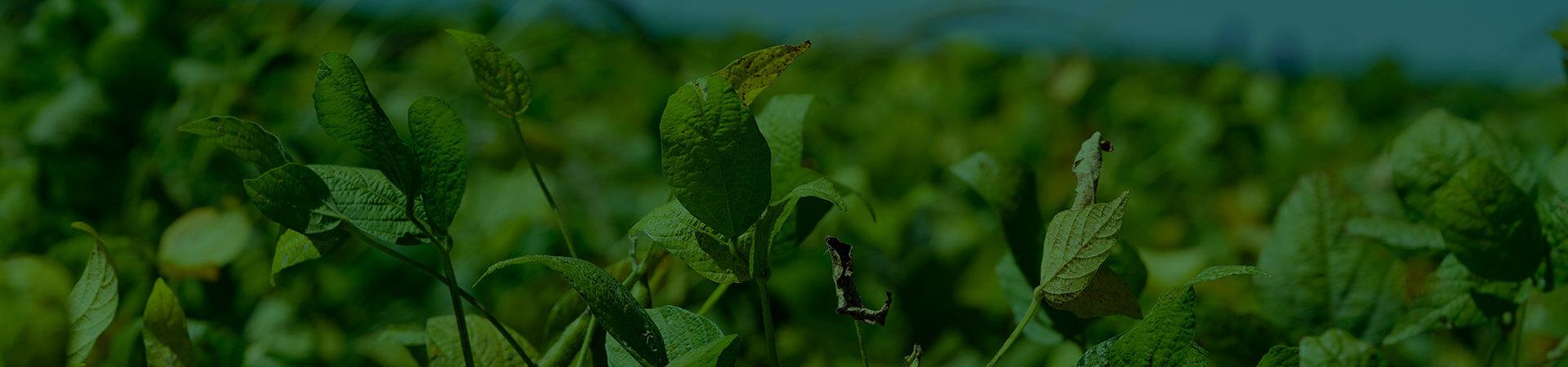 Doenças de final de ciclo na soja
