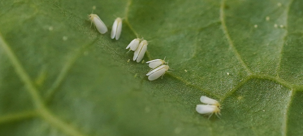 promip manejo integrado pragas controle biologico mip experience resistência mosca branca inseticidas bemisia tabaci