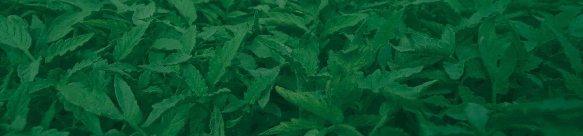 Pragas iniciais na cultura do tomateiro